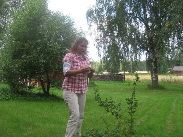 Probando grosellas silvestres entre. El abedul, el bosque, el campo de cebada, leña - cosas muy finlandesas