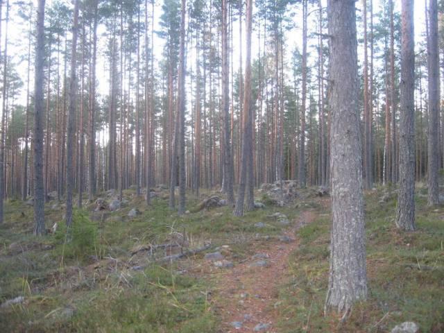 Pinos en un bosque con piedras de la Edad de Hielo y arandanos rojos para recojer. Un sendero que a mi me gusta.