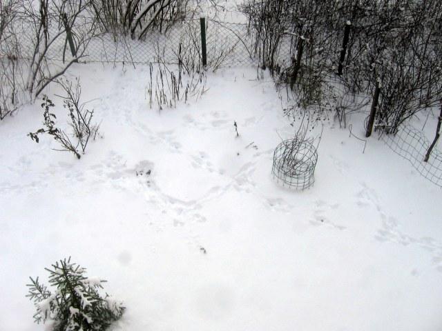 El liebre ha vuelto después de unos dias con nieve intacta. ¡Maldito liebre! ¡No desenterres los rosales de mi esposa!