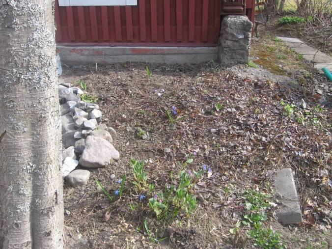 Entre pihlaja (capudre, sorbellano o serbal de cazadores) y la sauna florece imikkä (pulmonaria). Más tarde aqui hay un mar de kielo (Convallaria majalis). Kielo es el flor nacional de Finlandia.