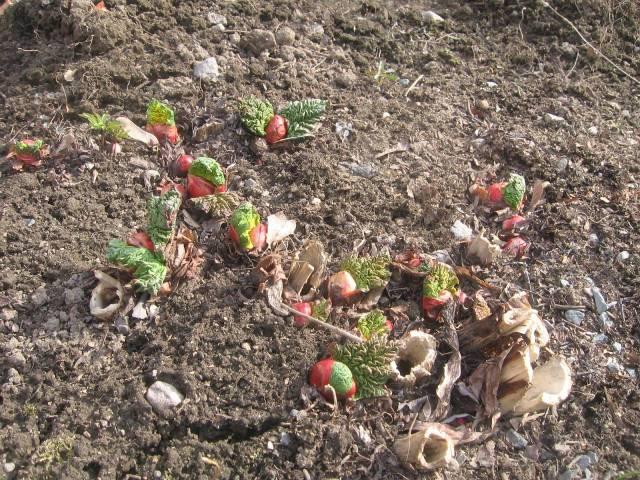 En la huerta el ruibarbo reventa con colores rojos y verdes