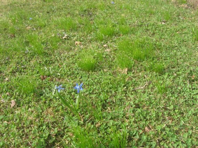 Las scillas de florecen en la cesped, también. Las hojitas del trébol suben de la tierra.