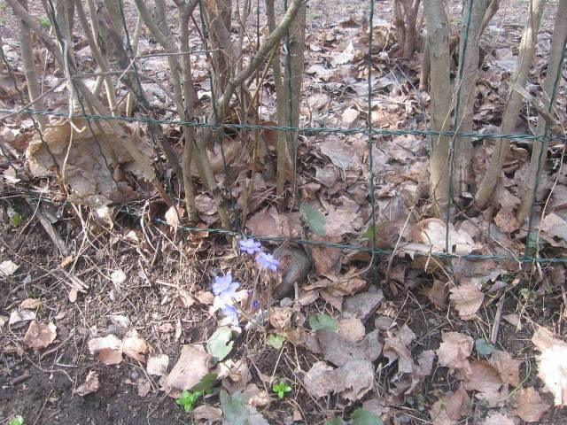 Sinivuokko (Anemone hepatica o Hepatica nobilis es un flor prohibido de sacar. Es el flor regional oficial de Häme, es decir, de mi región. Florece como un mar azul o morado en lomas al sur.