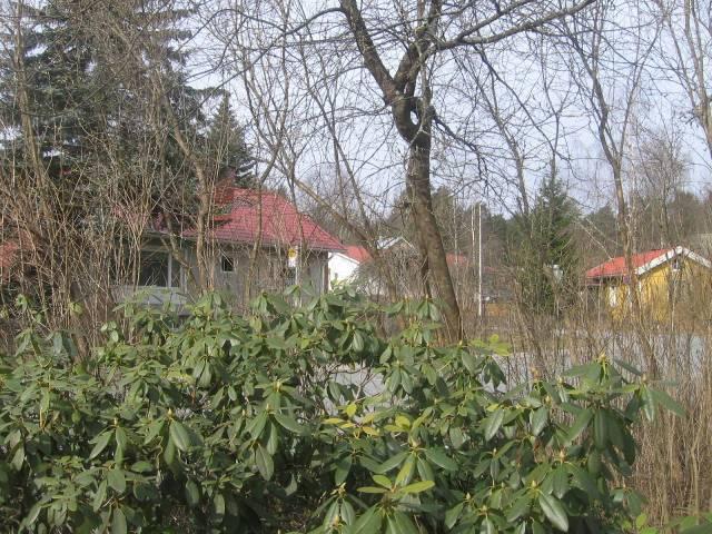 Tuomi (cerezo aliso, cerisuela o cerezo de racimo) es el primer en tener hoja y mañana ya tendrá hojitas. El rhododendron ha invernado bien.