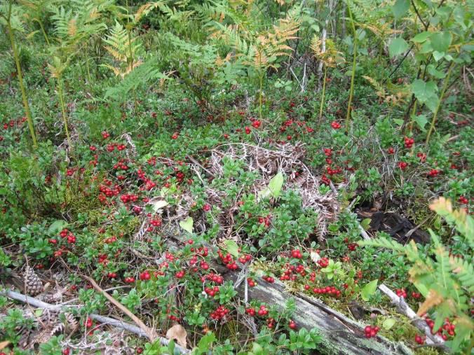 Ya empieza la cosecha de arandanos rojos. ¡Hay muchos, muchos!